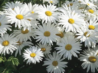 Güzel papatya resimleri papatya bahçesi papatya çiçek resimleri