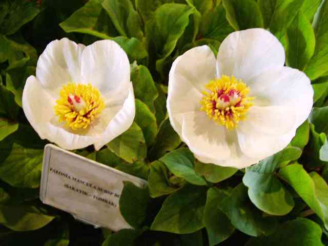 Beyaz şakayık resimleri şakayık çiçeği şakayık çiçek