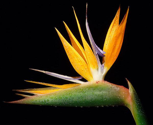 heliconia resimleri