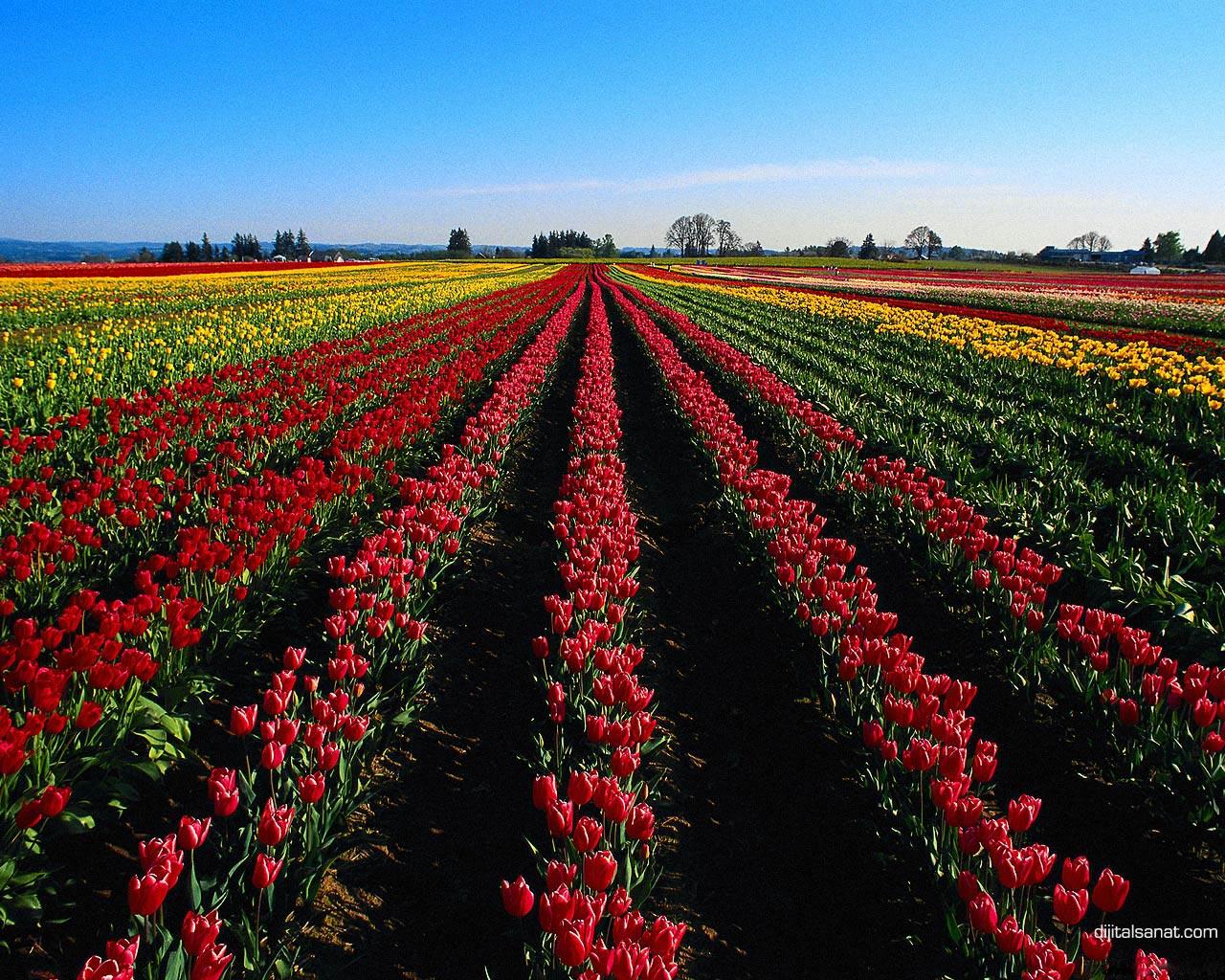 Resimleri masaüstü çiçek resmi masaüstü çiçekler resimleri